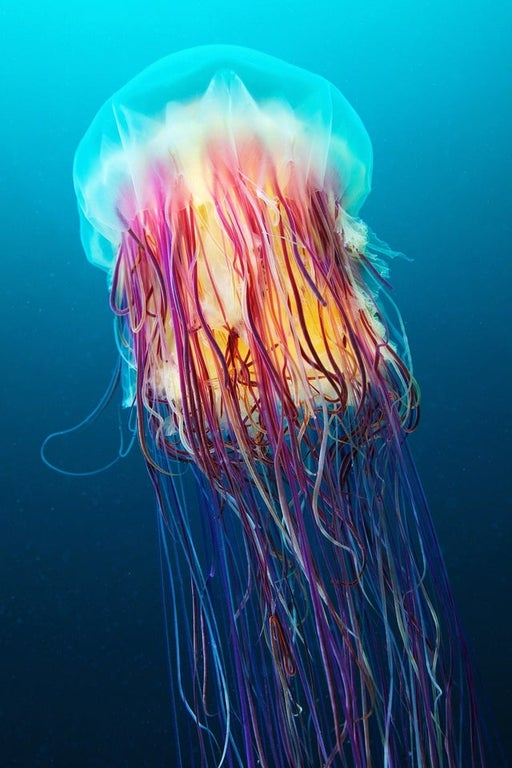 fl - Lions Mane Jellyfish in water.